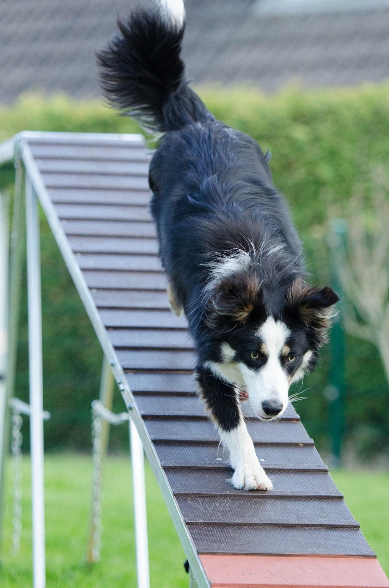 agility adiestramiento perros rampa