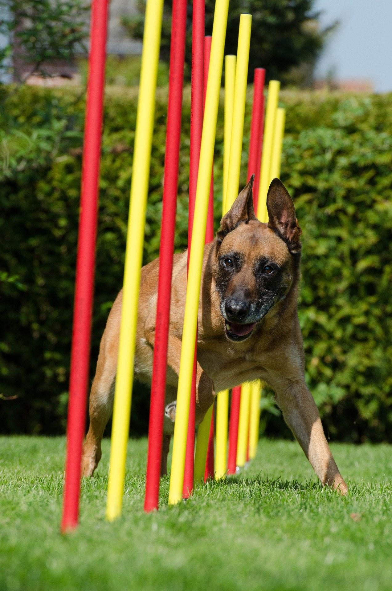 agility adiestramiento perros barras