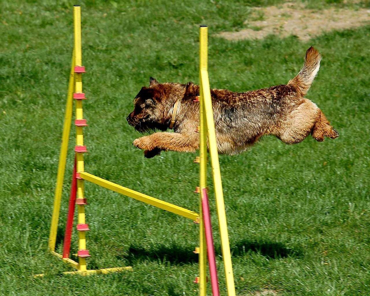 agility adiestramiento perros salto
